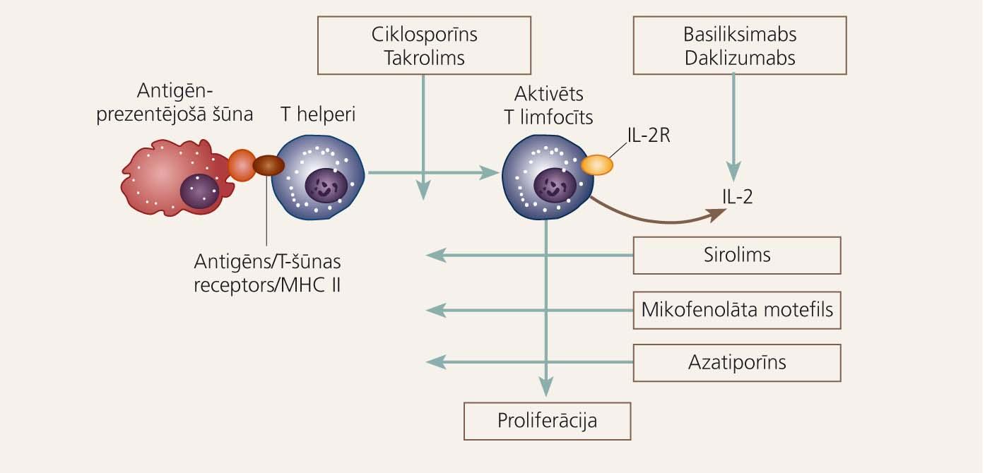 Uz allogēnā aknu transplantāta atgrūšanu vedoši imunoloģiskie ceļi  un imūnsupresīvo medikamentu darbības punkti