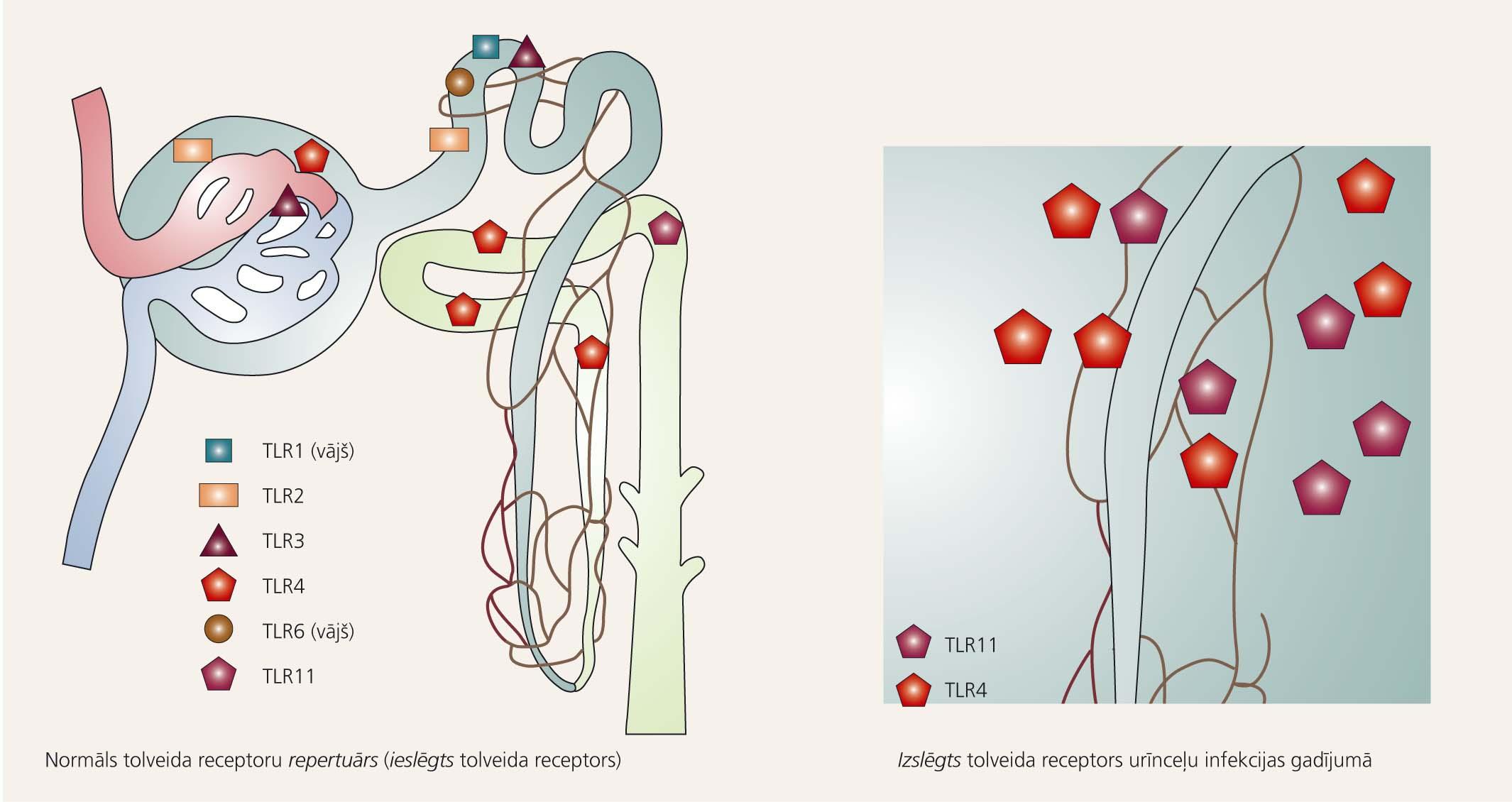 Tolveida receptori – patoģenētiskais faktors urīnceļu infekcijas attīstībā