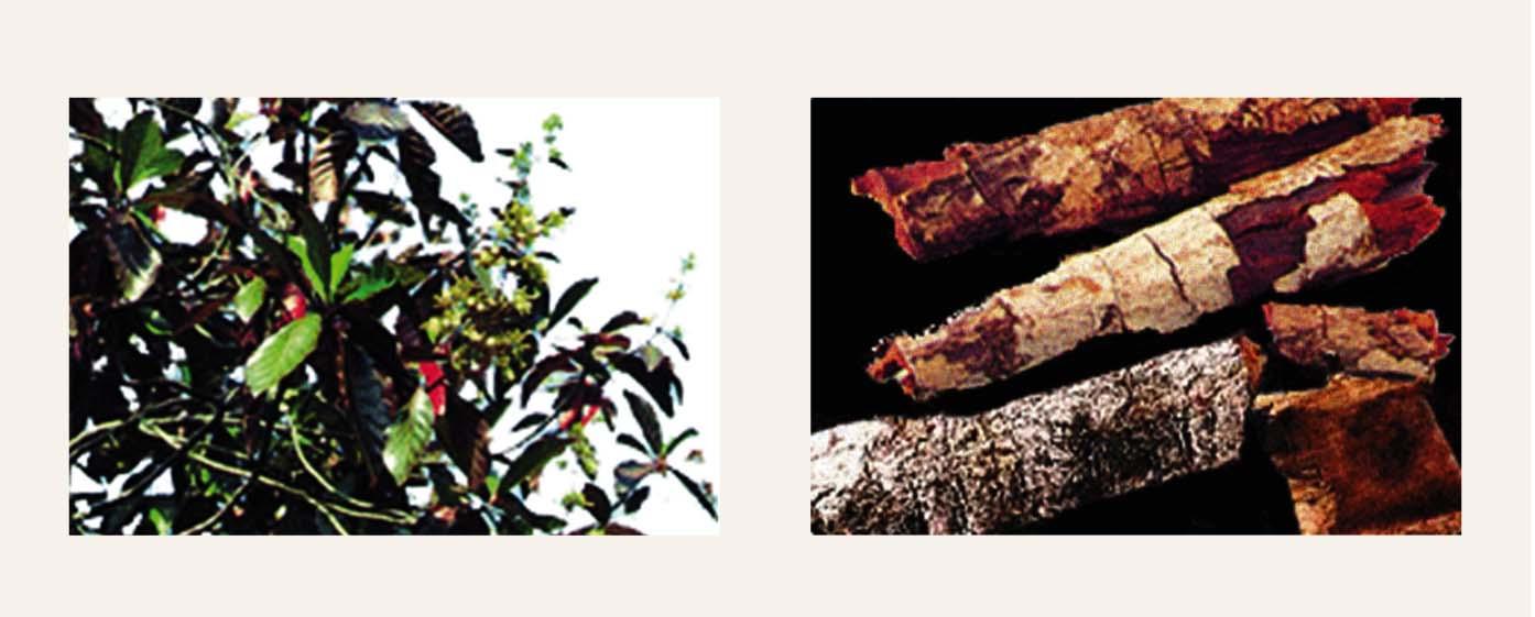 Cinchon (Hinas) koks un tā miza, kas satur hinīnu