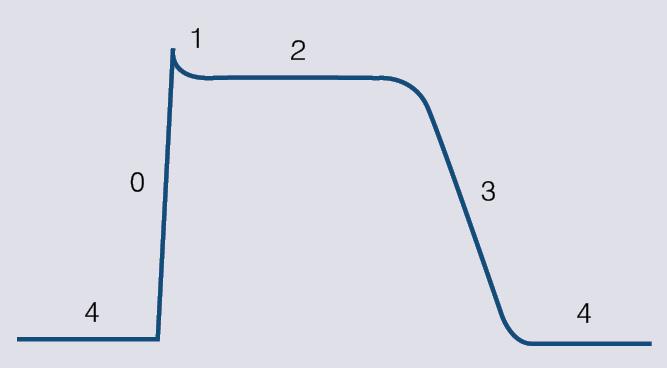 Darba kardiomiocītu darbības potenciāla līkne.  Ar cipariem atzīmētas  dažādas darbības potenciāla fāzes