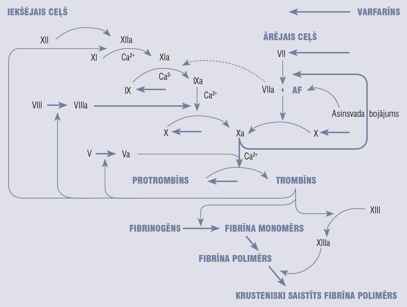 Varfarīna darbības mehānisms (pārveidots pēc Peter J. Lin, 2005)