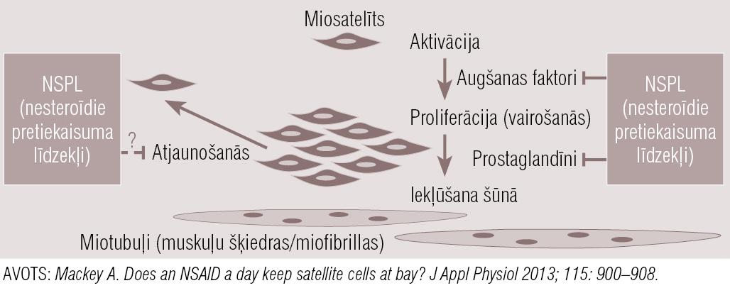 Nesteroīdo pretiekaisuma līdzekļu (NSPL) ietekme  uz miosatelītu aktivitātes ciklu