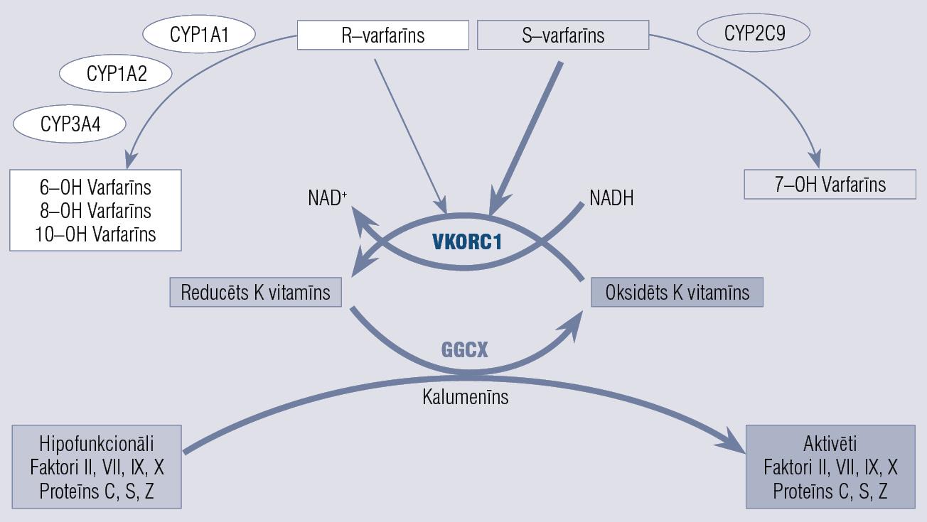 Varfarīns: farmakokinētika un farmakodinamiskie ceļi (pārveidots pēc Limdi et al., 2008)