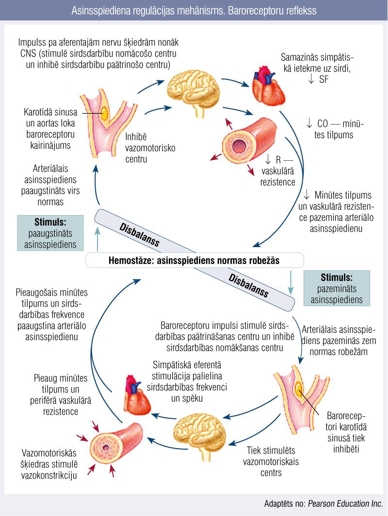 Asinsspiediena regulācijas mehānisms. Baroreceptoru reflekss