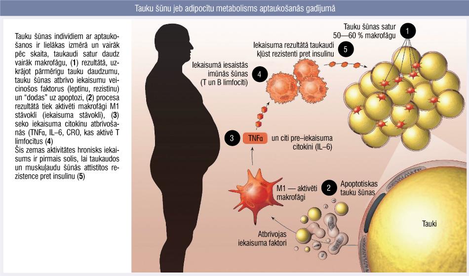 Tauku šūnu jeb adipocītu metabolisms aptaukošanās gadījumā